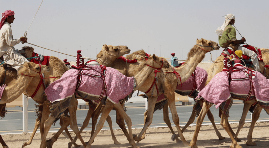 camel racing qatar