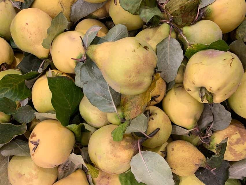quince in fall